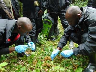 Gorilla fecal samples provide important information