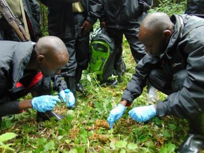 Gorilla fecal samples provide important information