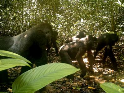 Camera trap photo of a group of unhabituated Grauer's gorillas