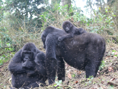Habituated Grauer's gorillas from Chimanuka's group at Kahuzi-Biega