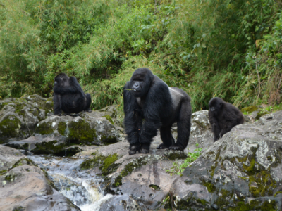 Dominant silverback Ugenda with new group members in November 2014