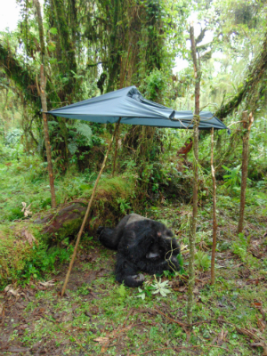 Fossey Fund staff set up a rain cover for injured Ugenda