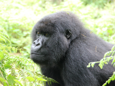 Female mountain gorilla Tamu was observed using a tool in 2013.
