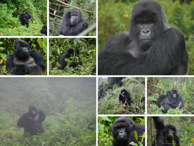 Various gorillas involved in the interaction
