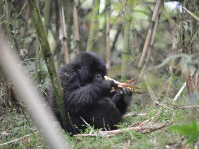 Mountain gorilla Indamutso eats bamboo