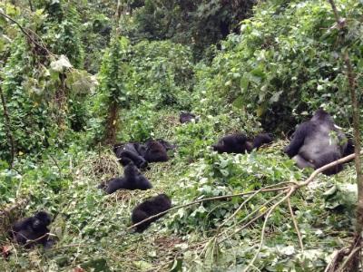 Chimanuka's group in Kahuzi-Biega National Park