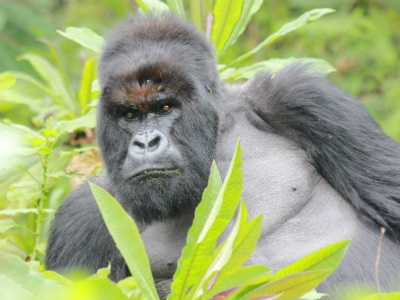 Silverback Vuba, 22 years old