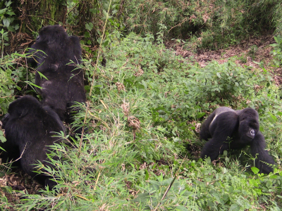 Lone silverback Urugwiro interacts with Titus' group