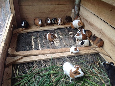 Guinea pigs as part of a model farm in Congo