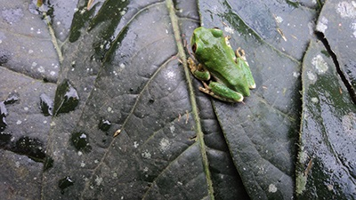 An endangered tree frog found in the forest