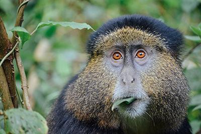 A golden monkey