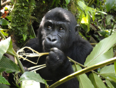 Rescued female Grauer's gorilla Amani at GRACE