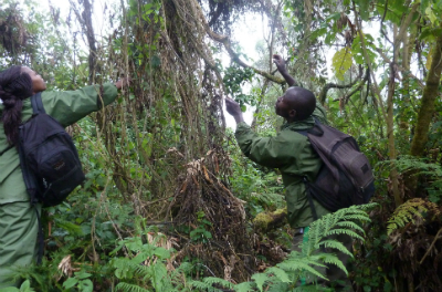 Research Assistant Olive Izabayo and a trainee look for a gorilla food plant