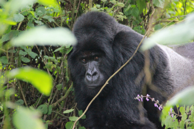 Silverback Bwenge in Jan. 2014