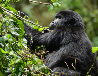 A Bwindi mountain gorilla. Photo: International Gorilla Conservation Program