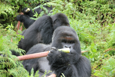 Cantsbee eating bamboo with his group