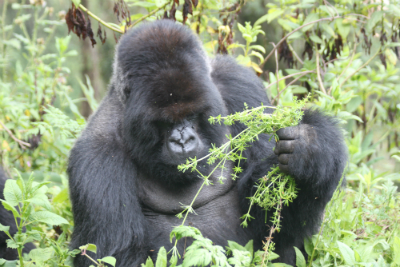 Silverback Cantsbee now 34