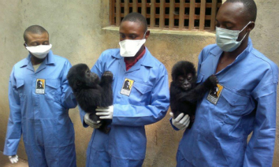 The newest confiscated gorillas with caregivers