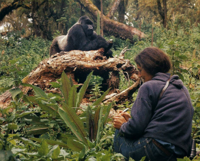 Dian Fossey observing gorilla behavior