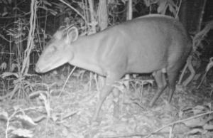 A duiker passes by
