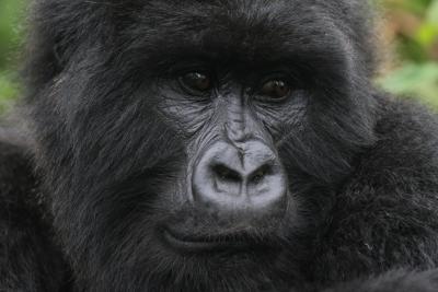Mother gorilla Ubufatanye