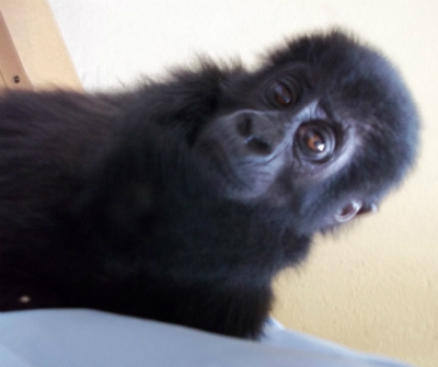 Infant Grauer's gorilla confiscated Sept. 12