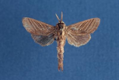 New moth genus Dianfosseya
