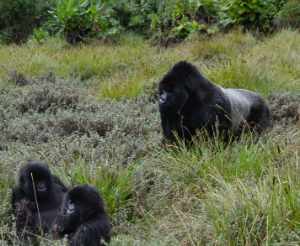 Silverback Gicurasi with infants