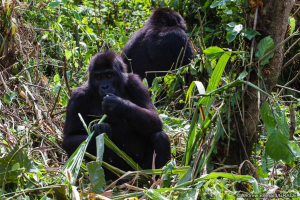 GRACE gorillas eating in forest