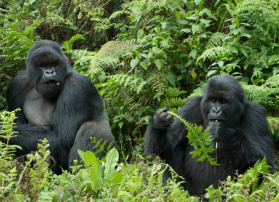 Ubufatanye (r) feeding as Gushimira (l) listens to chestbeats from Titus' group. Photo by Keiko Mori.