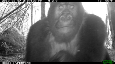 Gorilla inspecting camera trap; border shows info recorded by camera