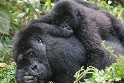 Grauer's gorillas in Congo
