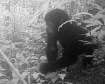 One of the Grauer's gorillas photographed by a remote camera in their Congo forest habitat