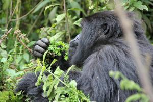 Female mountain gorilla Imvune eating gallium