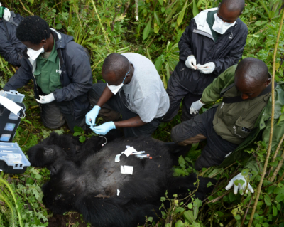 Gorilla Doctors and Fossey Fund staff remove a snare rope from Ingamiya