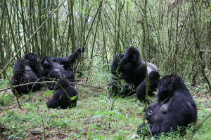 Isabukuru's group in the bamboo