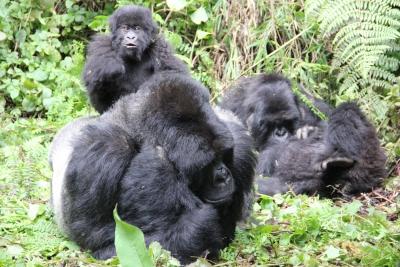 Gorillas with silverback