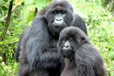 Inziza and her juvenile daughter Igitangaza
