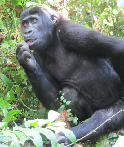 Orphaned Grauer's gorilla Muyisa (formerly Ihirwe) is thriving at the GRACE center. Photo courtesy of GRACE.