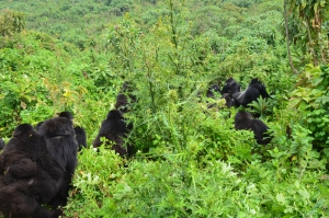 Interaction of two gorilla groups