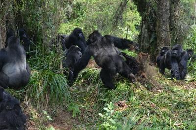 Interaction between two gorilla groups