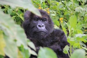 Elderly gorilla Maggie