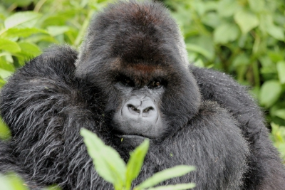 Silverback Cantsbee has sired more than 20 offspring.