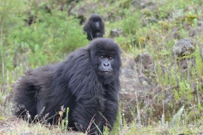 Young male Ntaribi