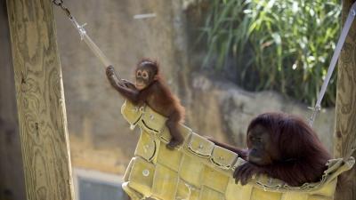 Orangutans at Zoo Atlanta