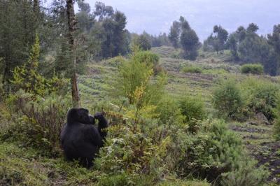 Gorilla alone