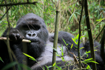 Rano, the dominant silverback in Titus's group, eating bamboo