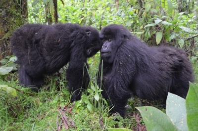 Two young mountain gorillas with personality!