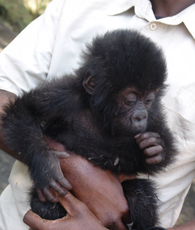 Grauer's gorilla infant confiscated Sept. 20