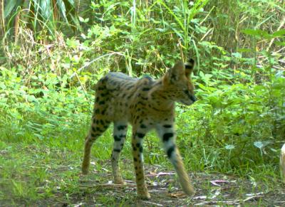 Serval (wild African cat)